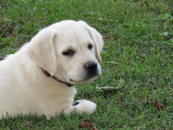 Labrador Puppies ~ Only 1 Available!