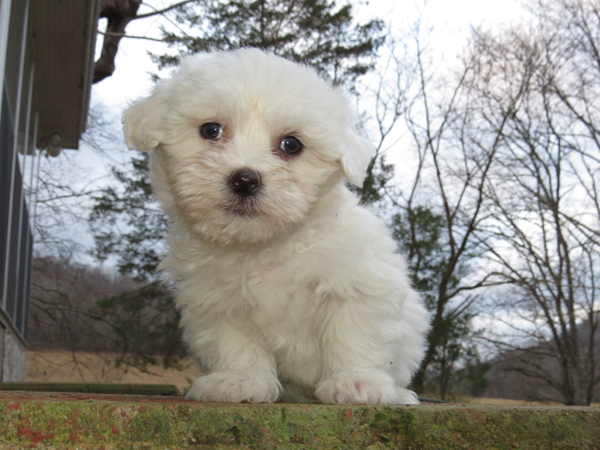 Coton Videos – One Male Puppy Available!