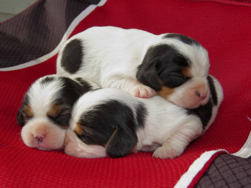 tri-pups-1