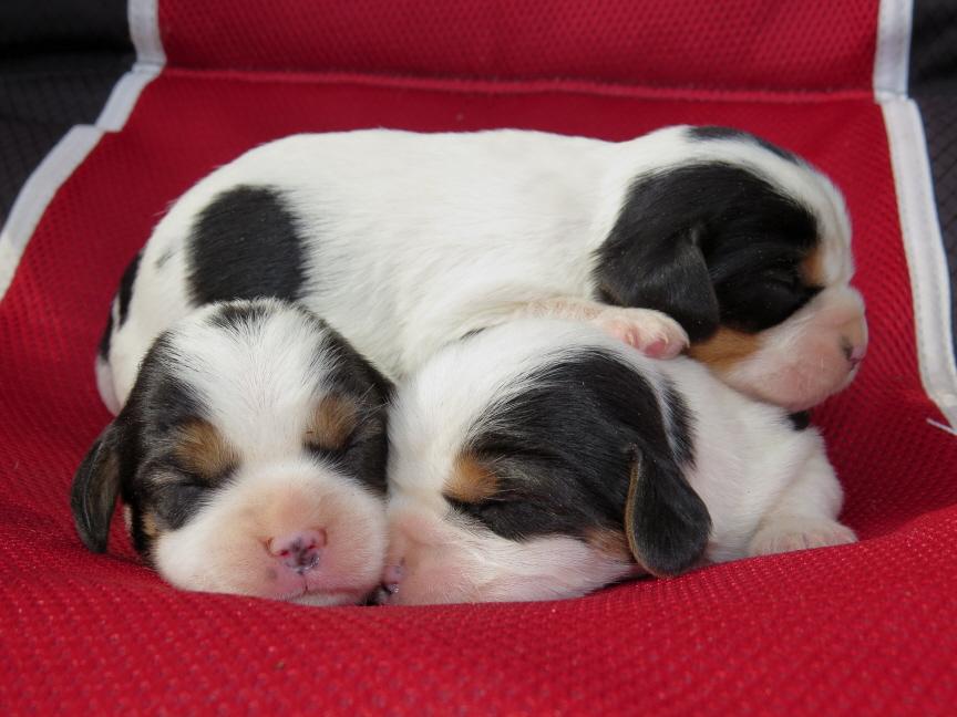 tri-pups-3