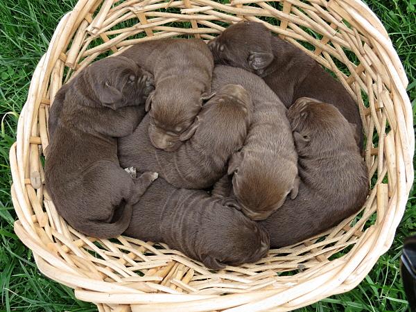 Nutella's Puppies – 1 Week Old
