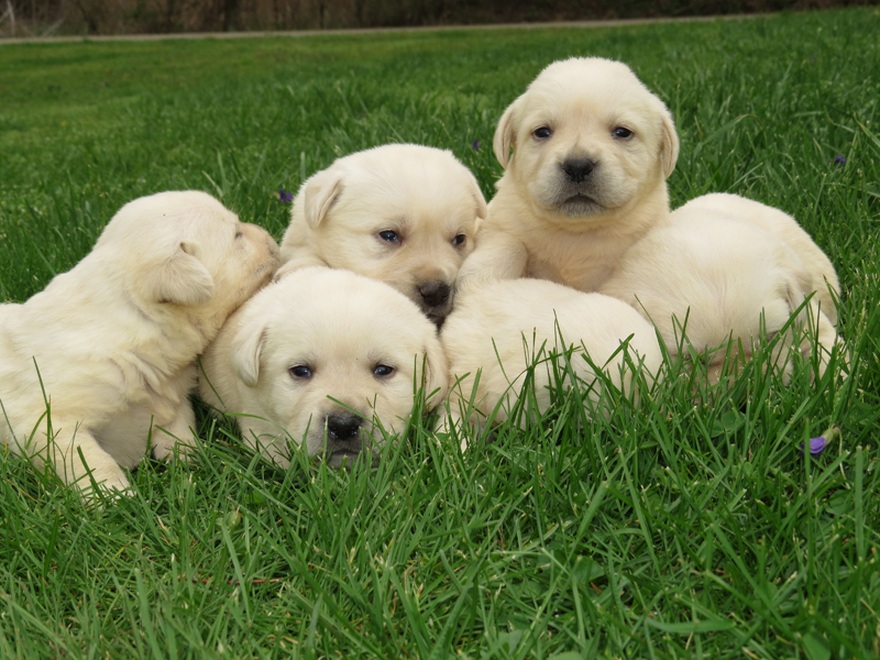 Dixie's Puppies – 3 Weeks