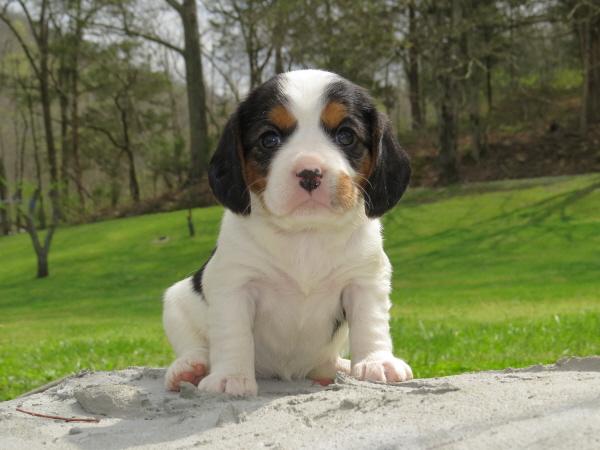 Rosie's Puppies – 4 Weeks Old