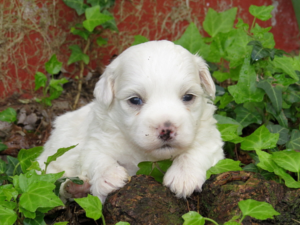 Virgie's Puppies – 3 Weeks Old