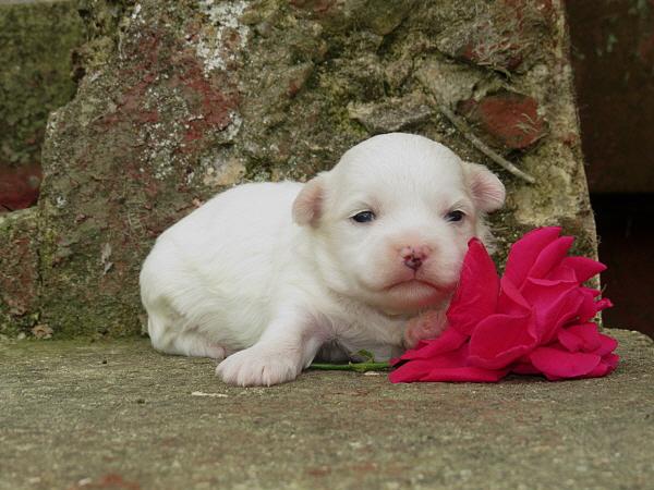 Mocha's Puppies – 2 Weeks Old