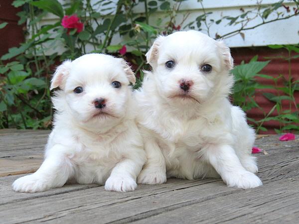 Mocha's Puppies – 4 Weeks Old