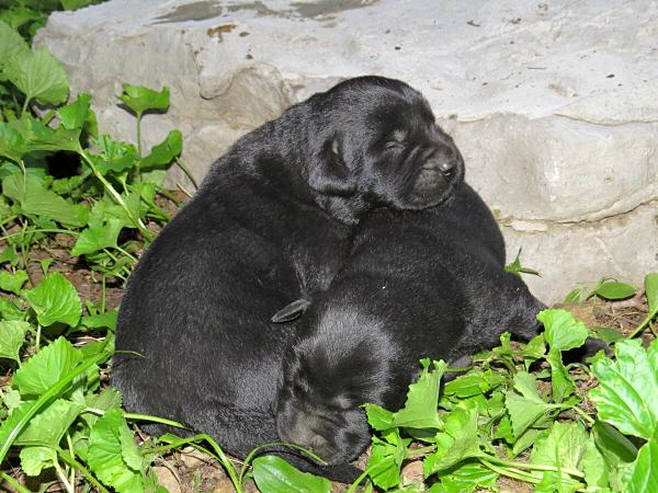 Dakota's Puppies – 1 Week Old