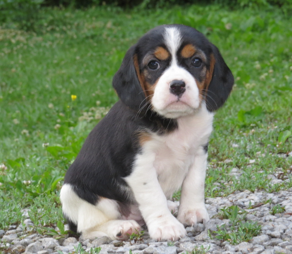 Bluebelle's Puppies – 5 Weeks Old