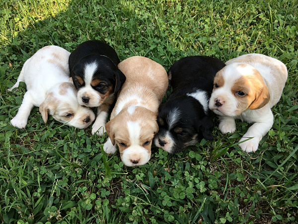 Pepper's Puppies – 3 Weeks Old