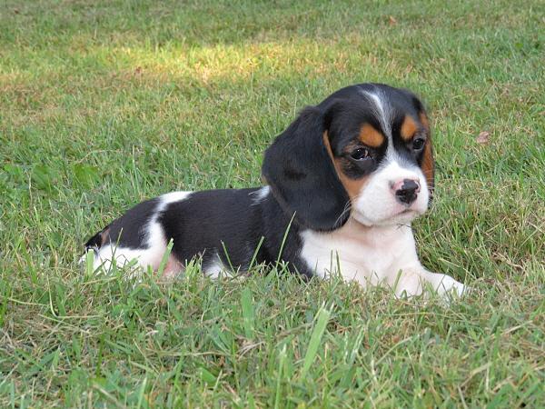 Jolene's Puppies – 8 Weeks Old