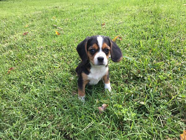 Pepper's Puppy – Boston