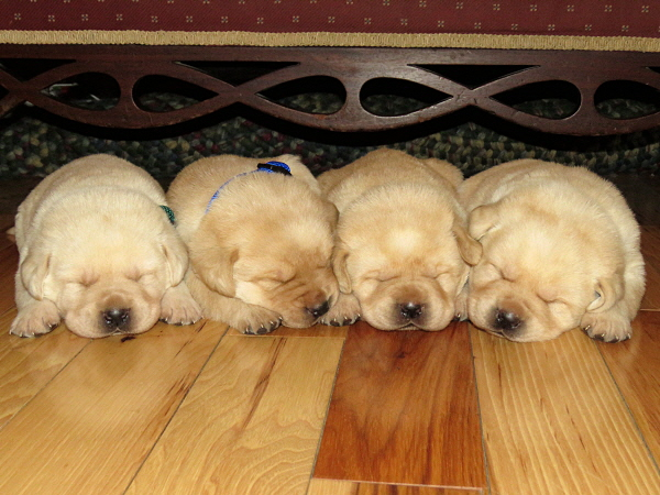 Dakota's Puppies – 3 Weeks Old