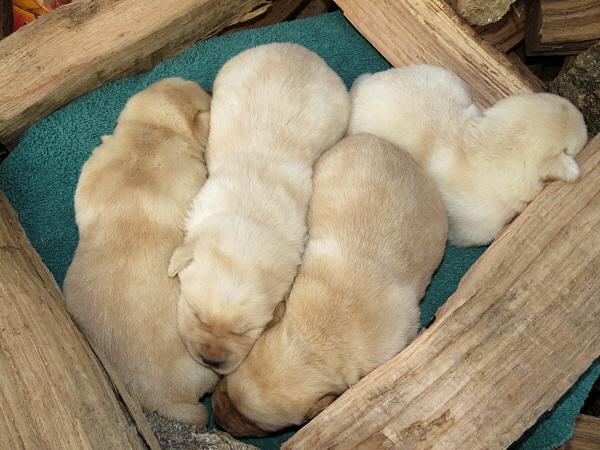 Dakota's Puppies – 2 Weeks Old