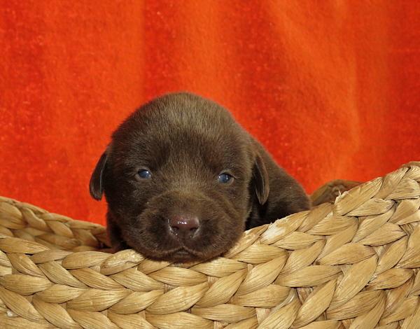 Assata's Puppies – 2 Weeks Old
