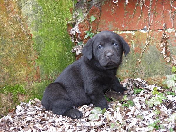 Assata's Puppies – 5 Weeks Old