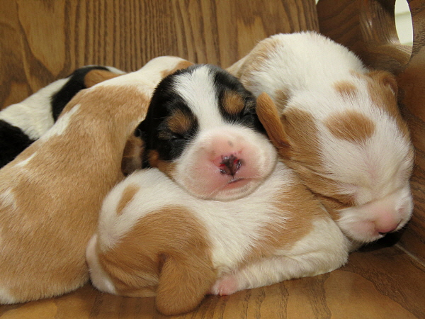 Buttercup's Puppies – 1 Week Old