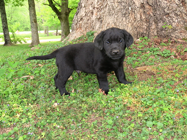 Ruger's Puppies – 6 Weeks Old