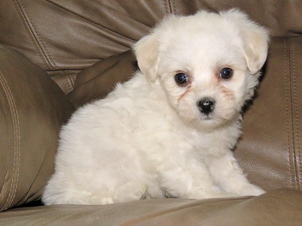Chavi's Puppies – 6 Weeks Old