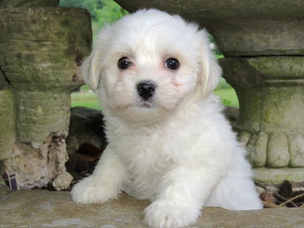 Chavi's Puppies – 7 Weeks Old