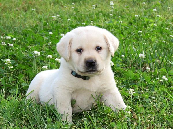 Cricket's Puppies – 5 Weeks Old