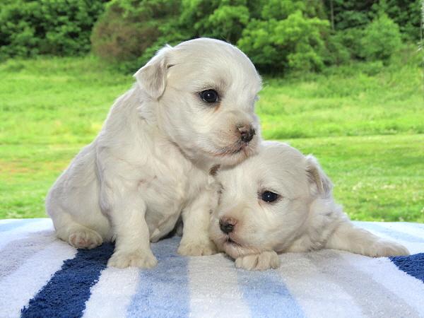 Mocha's Puppies – 3 Weeks Old
