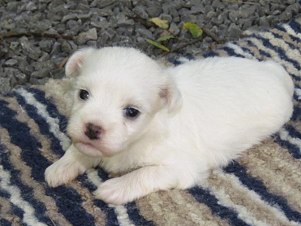 Elsie's Puppies – 3 Weeks Old