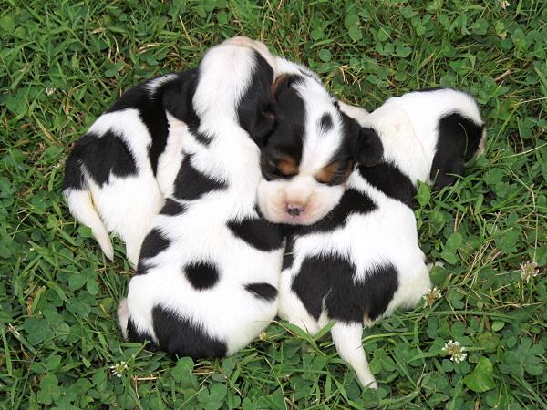 Rosie's Puppies – 2 Weeks Old