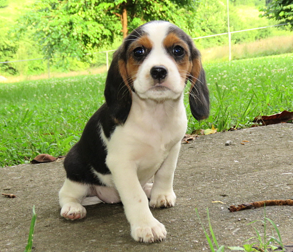 Buttercup's Puppies – 8 Weeks Old