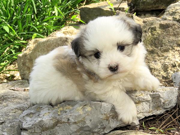 Mocha's Puppies – 5 Weeks Old