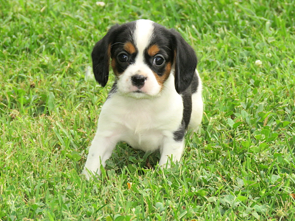 Lizzy's Puppies – 5 Weeks Old