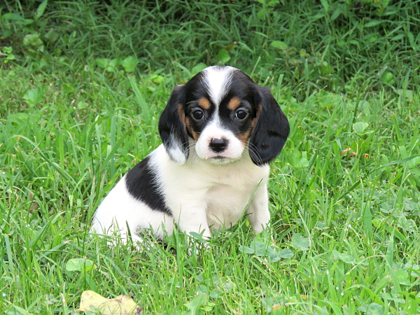 Bessy's Puppies – 7 Weeks Old