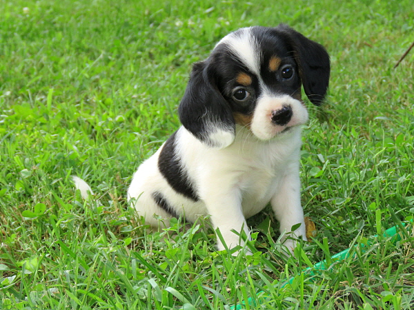Bessy's Puppies – 6 Weeks Old