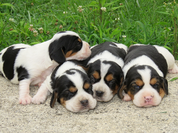 Bluebelle's Puppies – 2 Weeks Old