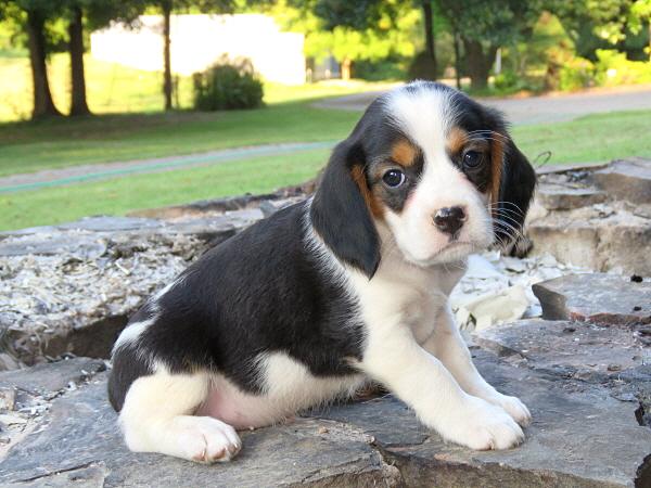 Annie's Puppies – 6 Weeks Old