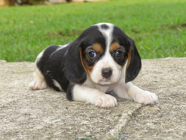 Lucy's Puppies – 5 Weeks Old