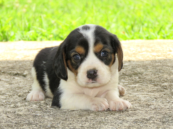 Lucy's Puppies – 4 Weeks Old