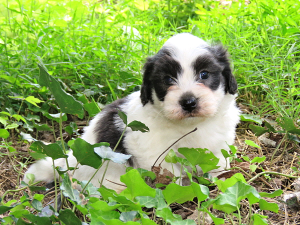 Merida's Puppies – 5 Weeks Old