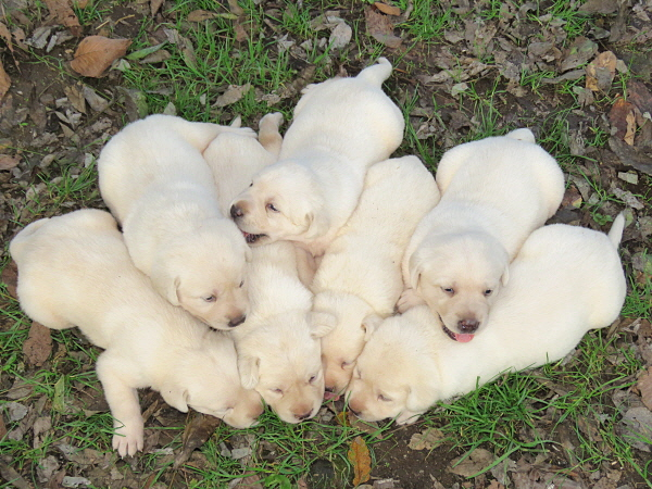 Dixie's Puppies – 3 Weeks Old