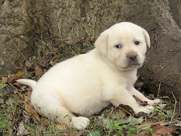 Dixie's Puppies – 4 Weeks Old