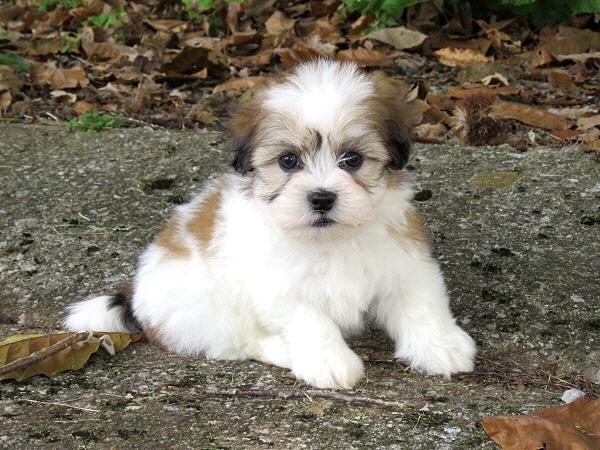 Virgie's Puppies – 7 Weeks Old