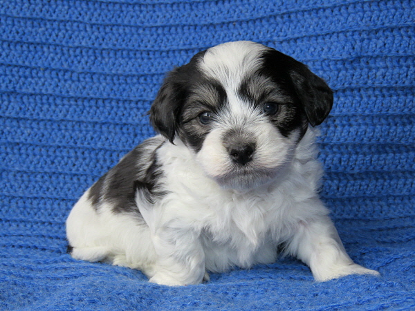 Chavi's Puppies – 5 Weeks Old