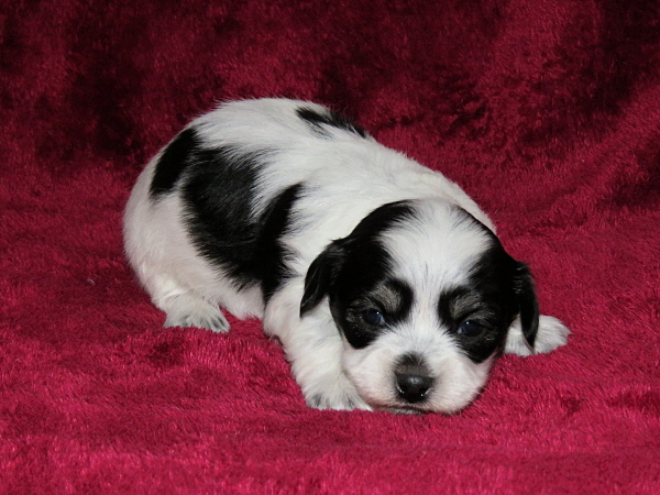 Chavi's Puppies – 4 Weeks Old