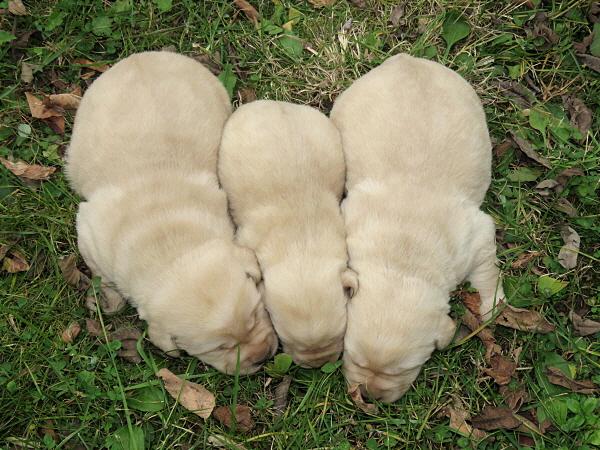 Cricket's Puppies – 2 Weeks Old
