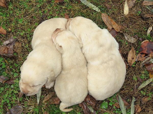 Cricket's Puppies – 3 Weeks Old