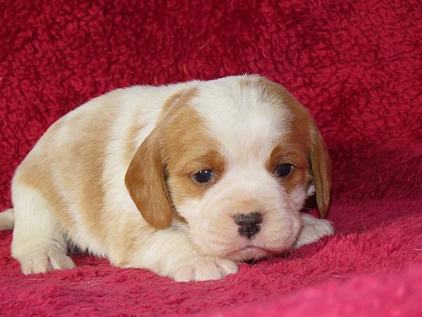 Rosie's Puppies – 3 Weeks Old