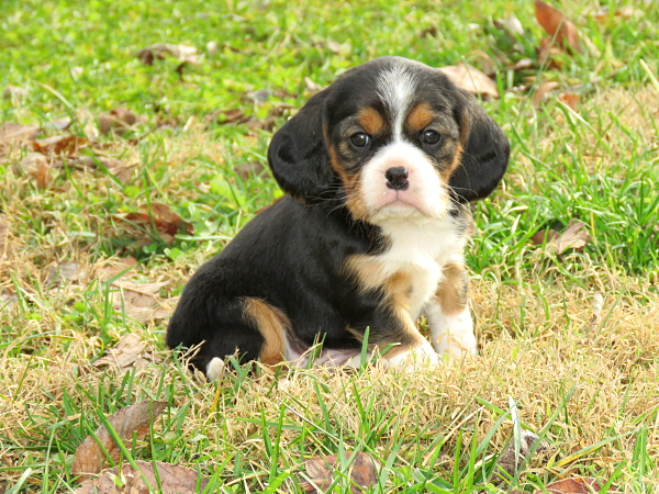 Daisy's Puppies – 5 Weeks Old