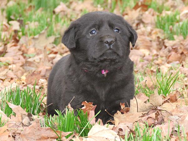 Assata's Puppies – 4 Weeks Old