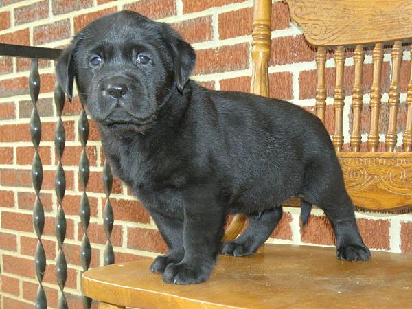 Assata's Puppies – 6 Weeks Old