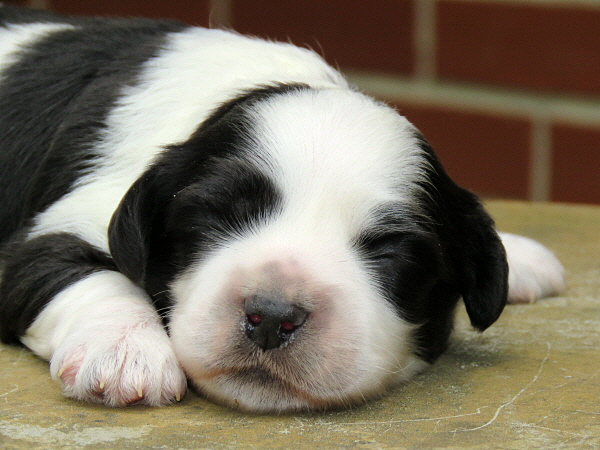 Chavi's Puppies – 1 Week Old