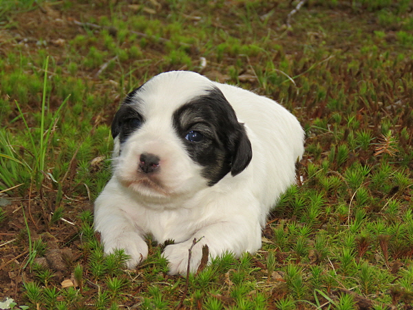 Chavi's Puppies – 3 Weeks Old